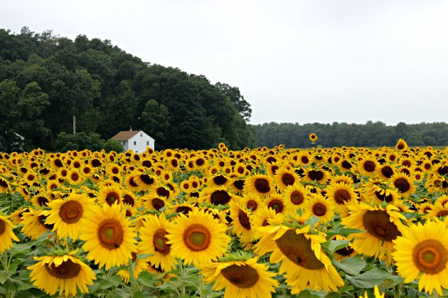 The sunflower maze was a little slice of heaven.